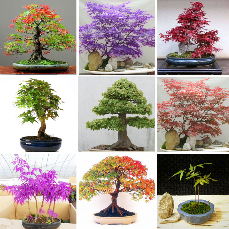 Hot Sale Multi species Foliage Plants Bonsai Maple Seeds Green And Purple Color Red maple Bonsai Seeds home garden plants 50PCS
