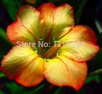 100 Genuine Honey Adenium Obesum Seeds 100 SEEDS Bonsai Desert Rose Flower Plant Seeds