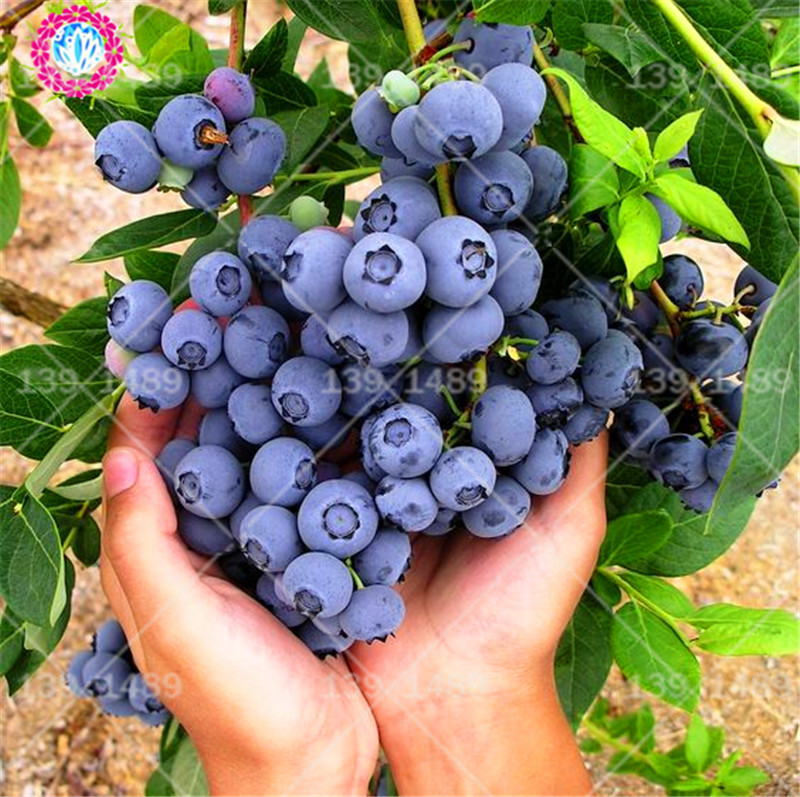 100pcs Bonsai Juicy Blueberry Real Sweet Fruit Tree Spring Farm Edible Bonsai Plants Supplies Easy To Grow