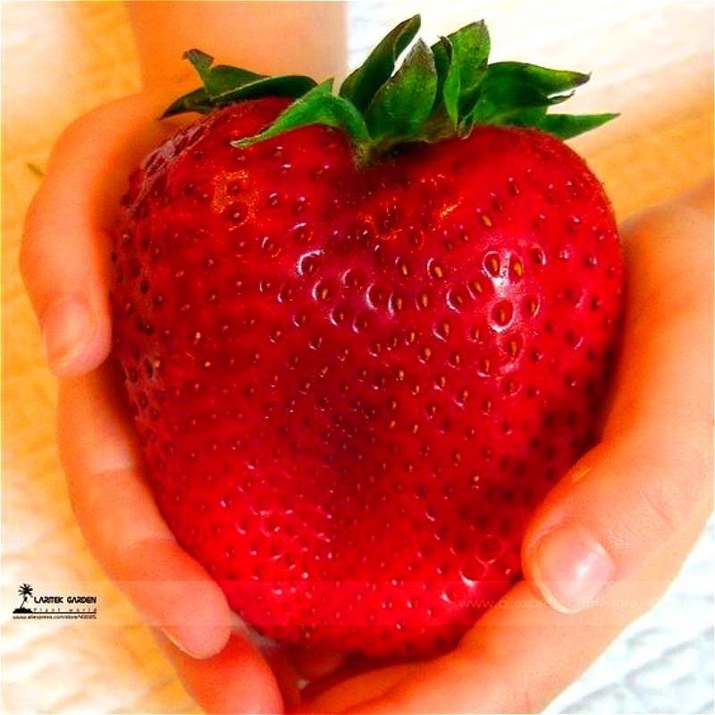 1000 gigantiske jordbær, sjælden, stor som fersken, meget velsmagende frugt Jordbærfrugt til hjemmebrug