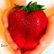 1000 Giant Strawberry ,Rare,Big as a Peach,very delicious Fruit fruit for home garden