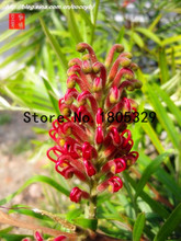 100pcs Rare Australian Grevillea Robusta Silver Oak Seeds
