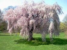 10 pcs/bag weeping sakura seeds, cherry blossom seeds, beautiful sakura tree bonsai pot plant tree flower seeds for home garden