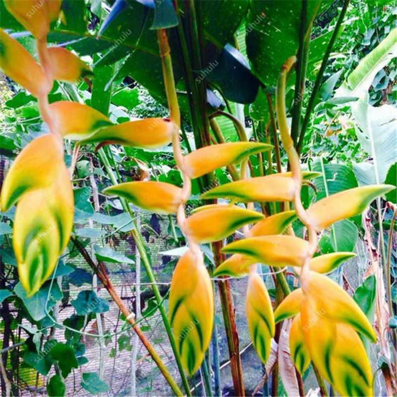 100 pz/borsa Esotico Heliconia Rare Succulente Pianta Perenne piante bonsai Vaso di Fiori Al Coperto Per Il Giardino Flore Pentola, FAI DA TE Giardino di Casa