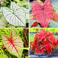 100Pcs bonsai Multiple Colour Caladium flower plants Perennial Flower Garden Potted plant DIY Home Bonsai Plants