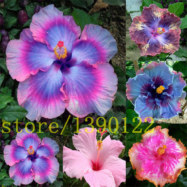 200 giant hibiscus seeds Dinnerplate Hibiscus /Perennial Flower /Huge 10-12 Inch Flower & 200 giant hibiscus seeds Dinnerplate Hibiscus /Perennial Flower ...