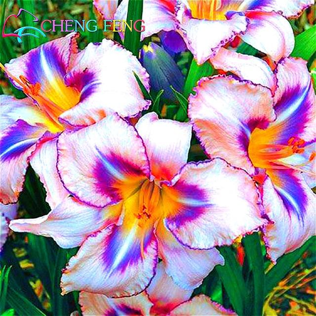 100pcs Pack 2016 Genuine Hemerocallis Seeds Flower Bonsai Plants Anese Garden Rare Giant Lily Flowers