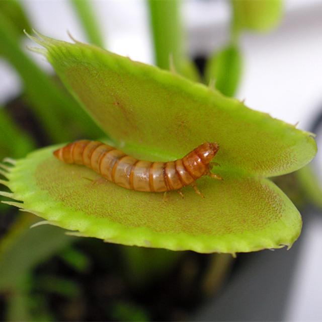 Potted Insectivorous Plant Seeds, Dionaea Muscipula Giant Clip Venus Flytrap Seeds, 20pcs/pack