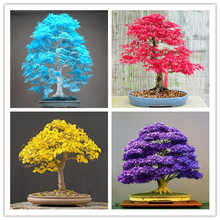 30 /pcs Maple tree Bonsa bonsai blue maple tree japanese maple Bonsa plants DIY for home garden and Balcony Easy to Grow the crown maple guide to maple syrup