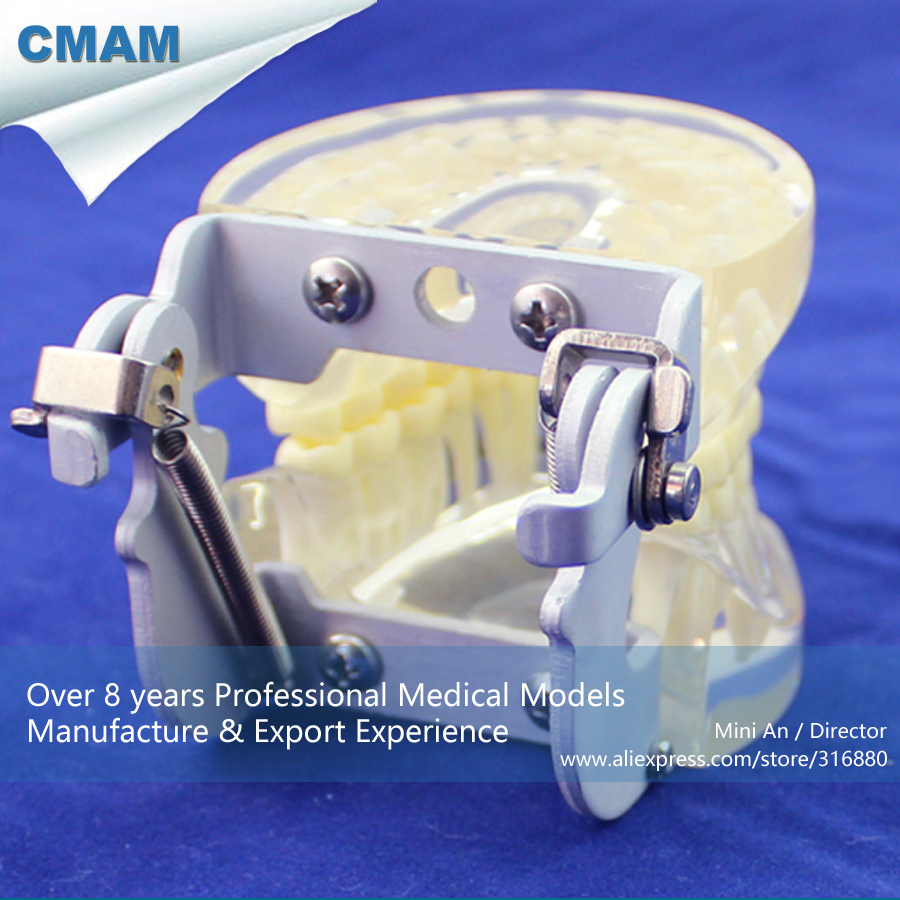 CMAM-DENTAL12 FE Articular Human Dental Teeth Model for Tooth Study,  Medical Science Educational Teaching Anatomical Models 1 pcs dental standard teeth model teach study