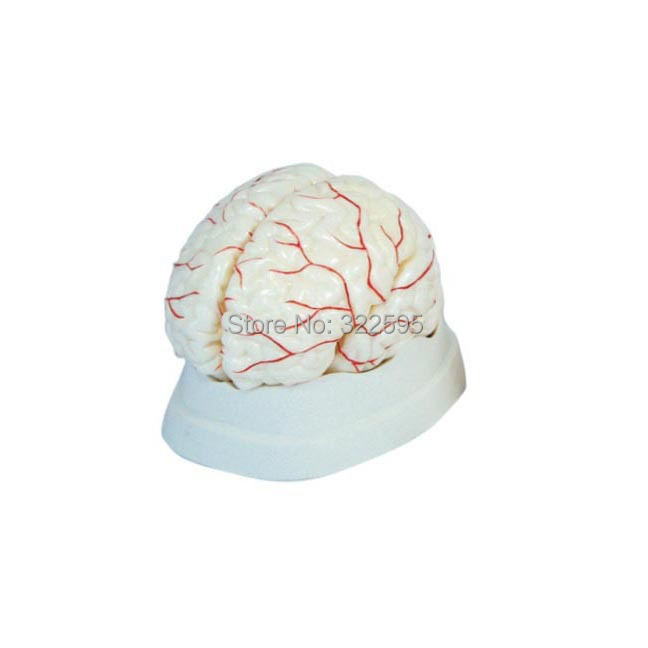 model of cerebral arteries, brain anatomical models, teaching aids brain model все цены
