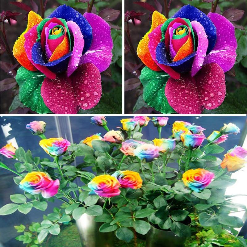 Popular multi colored rose buy cheap multi colored rose for Multi colored rose bushes