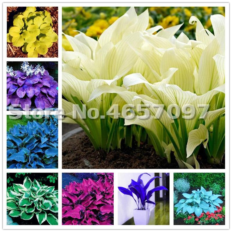 200 PCS Hosta Plants Perennials Plantain Flower Bonsai Rare Lily Flower White Lace Home Pot Garden Ground Cover Plant Flores