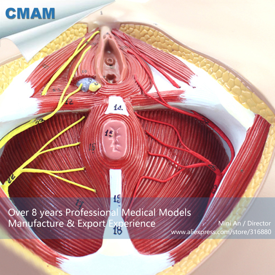 12462 CMAM ANATOMY24 Life Size Anatomy Model Female Perineum on ...