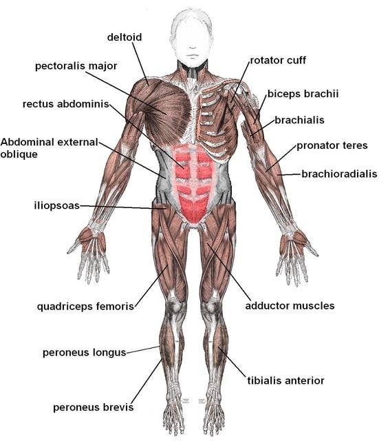 menschlichen Körper anatomische diagramm Muskulatur plakat ...
