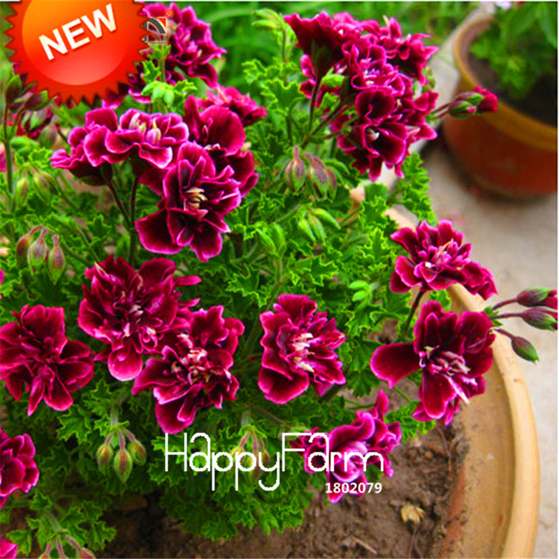 Big Sale!20 PCS/Bag Crimson Flower Petals Geranium Seeds, Perennial Flower Seeds Pelargonium Peltatum Flowers,#400U9E