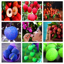 2pcs litchi giant Lychee Home Gardening Outdoor Fruit bonsai tree Sementes House plant pot Survival rate is very high(China)