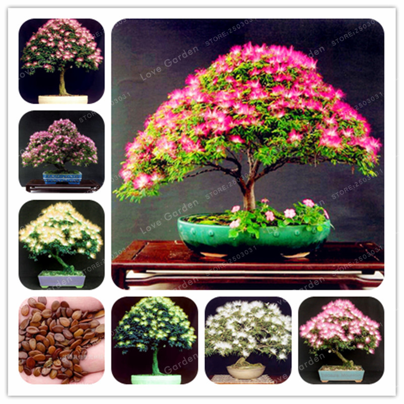 20 Pcs Bag Rainbow Albizia Julibrissin Acacia Tree Plant Bonsai Beautiful Flower Tree Pot Plants For Home Garden Buy At The Price Of 0 26 In Aliexpress Com Imall Com