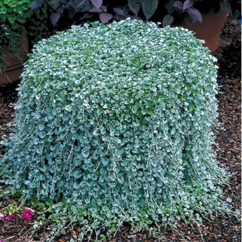 100個Dichondra Repensシルバーフォールズエメラルドフォールズハンギングバスケットの多肉植物の盆栽非常に創造的な美しい鉢植えの植物はケーブル同軸同軸