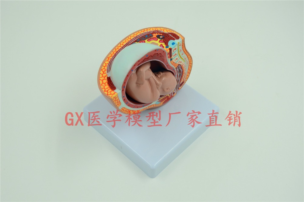 Escala down versão 9 mês embrião modelo