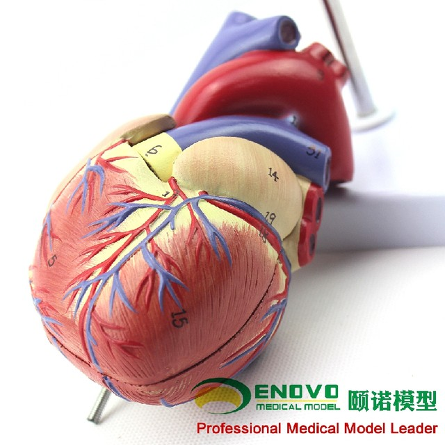 Online Shop 1: 1 human heart model B ultrasound color ultrasound ...