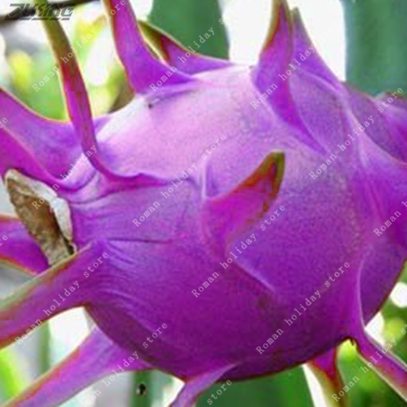 200 Pcs Seeds Rare Mini Pitaya Pink Tropical Dragon Fruit