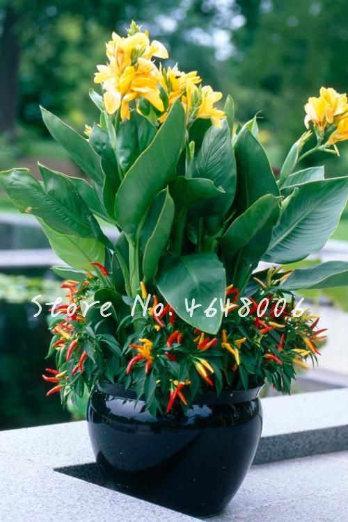 200 Pcs Colorido Exótico Canna Lily Flore Ao Ar Livre Indoor Bonsai Vasos Ornamentais Perenes Flor Planta Para Casa e Decoração Do Jardim