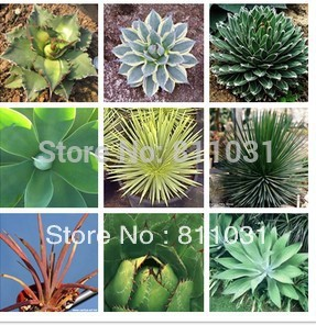 Hot selling 5pcs agave seeds Succulent Plants bonsai seeds DIY home garden