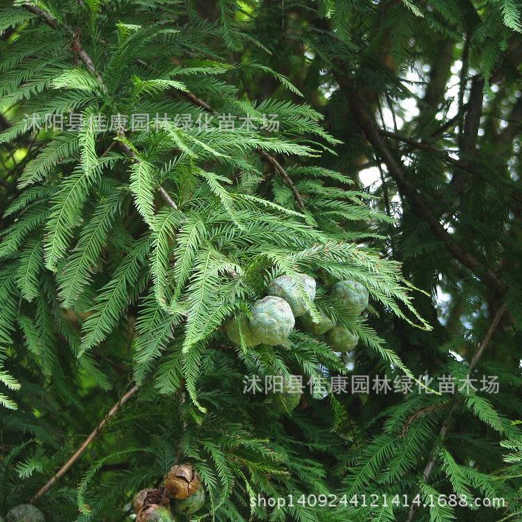 Autentico Albero Bonsai Pianta Taxodium Taxodium Acqua Di Cedro Bonsai Di Pino Un Vero E Proprio Colpo 200 G/pacco