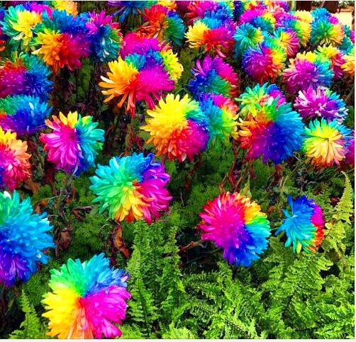 200pcs rainbow chrysanthemum seeds bonsai flower seeds potted plant perennial flowers for home garden