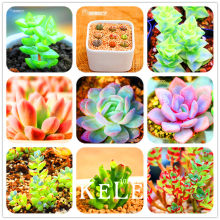 New 2018!10pcs/Bag 99 Kinds to choose Lithops garden Succulents plant Pseudotruncatella Office Bonsai Flower flores,#OFK2BA(China)