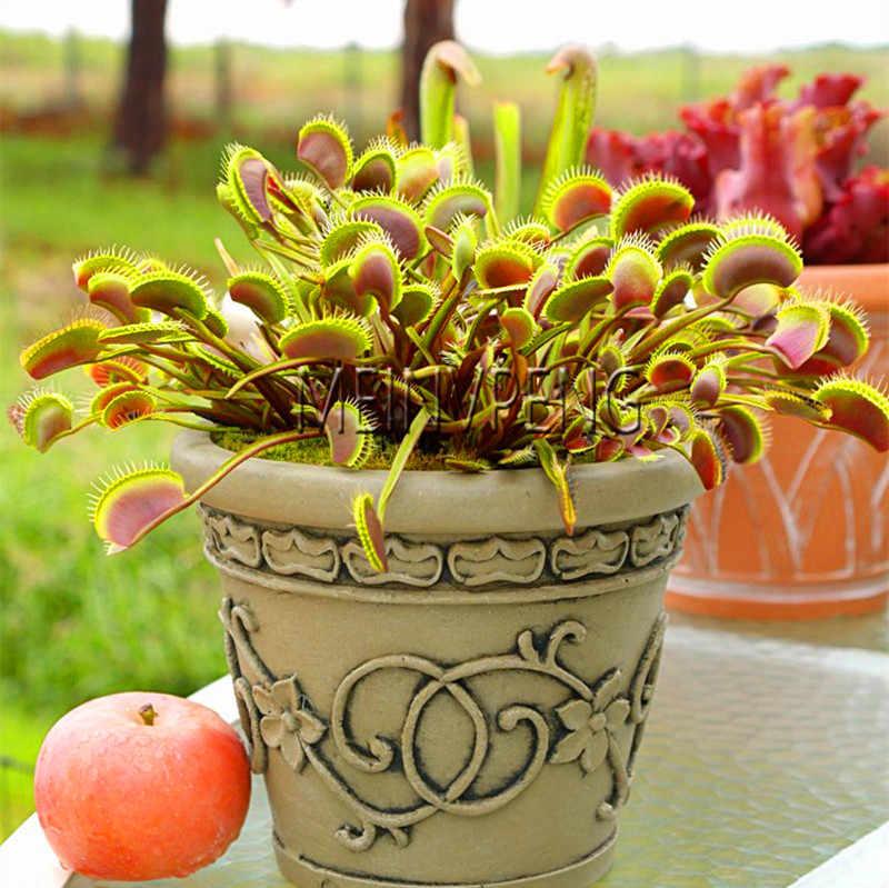 חדש 2018! בעציץ חרקי Dionaea הענק Muscipula קליפ Flytrap ונסאי צמח טורף משלוח חינם, 200 גן