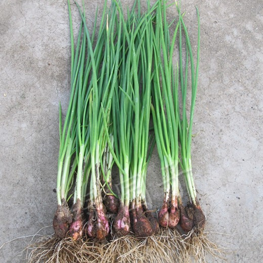 Image Gallery Shallot Plant
