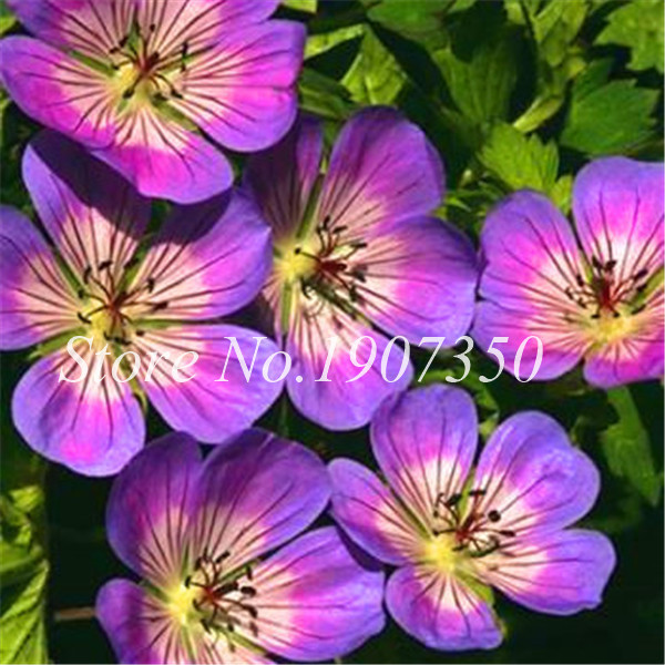 30 Pcs Mixed Rare Geranium Bonsai Potted Balcony Flower Planting Seasons Pelargonium Potted Flower Bonsai For Indoor Bonsai