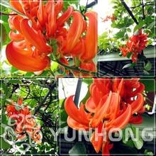 Rare Heirloom Mucuna Blue Red Black Jade Vine Bonsai 10PCS