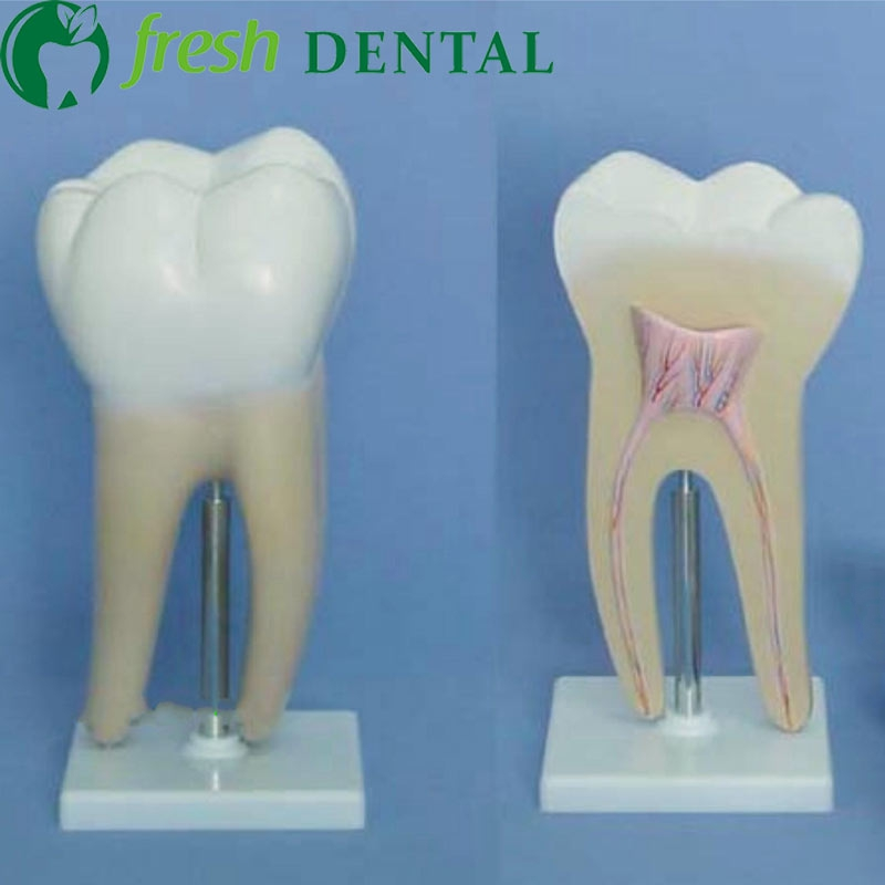 1pc Human body large molar model 2 sets of human oral dental teaching, human molar teeth model SL716 lower molar with one root model molar teeth model dental model