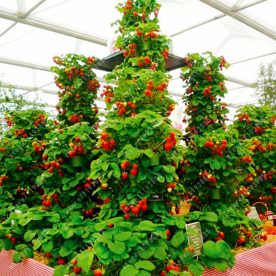 300 pcs/bag climbing strawberry seeds strawberry tree organic fruit seeds sweet gaint potted plant home garden bonsai seeds