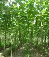 200seeds/pack paulownia elongata New bonsai tree plant fast growing outdoor for home garden