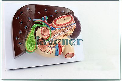 Life size Human Anatomical Duodenum Anatomy Medical Model Digestive system human anatomical duodenum gall bladder disease anatomy medical model teaching resources