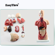 Model 26CM Body Trunk Model Anatomical Organ Model of Human Body System Anatomy Model Medical Teaching skull 4d master puzzle assembling toy human body organ anatomical model medical teaching model