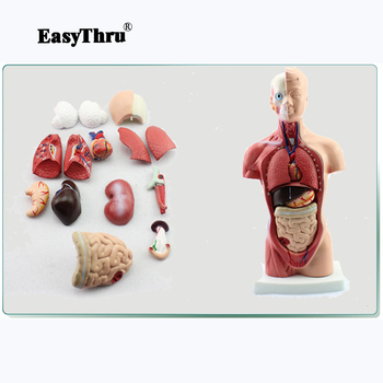 Model 26CM Body Trunk Model Anatomical Organ Model of Human Body System Anatomy Model Medical Teaching the lymphatic system model senior lymphatic system anatomical model