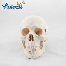 Medical Education Advance Life-Size Deluxe Life-Size Skull Style D Skeleton Model