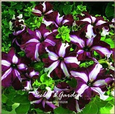 50pcs Varieties Petunia Seeds Double Petunia Charming Colors Rare Flower Seeds Beautiful Balcony Patio Garden Plant