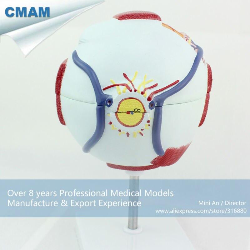 12525 Cmam Eye01 Enlarge 6x Life Size Plastic Human Eye Model