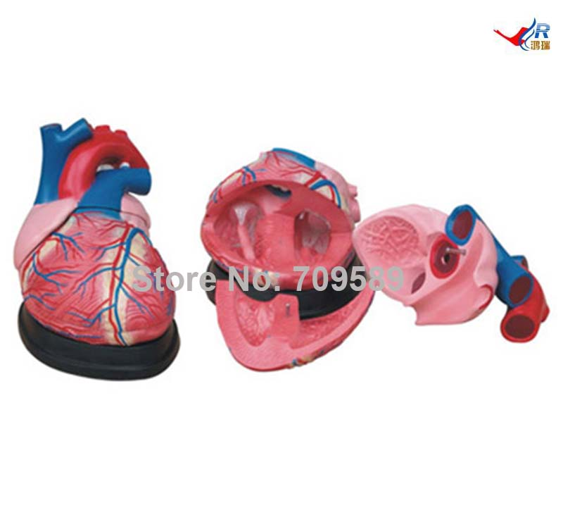 ISO Jumbo Human Heart Model New Style, Anatomical Heart model, Heart model iso sound auditory mediation model acoustoelectric control human hearing model