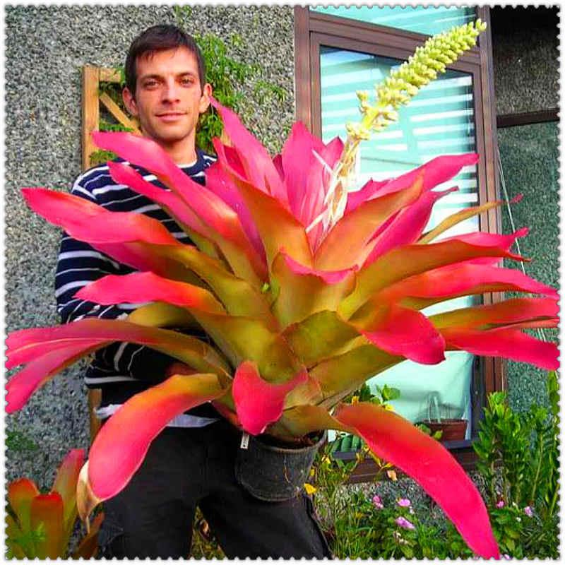 بونساي 50 قطعة/الحقيبة نادر الصبار Bromeliad الملونة زهرة نبات عصاري فناء بونساي للمنزل لوازم حديقة