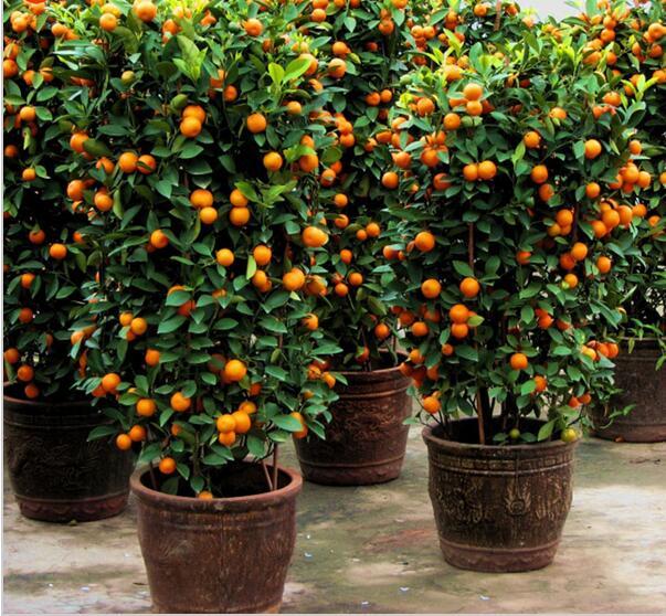 100 units / bag patio balcony potted fruit tree planting the seeds of citrus orange kumquat seed seed