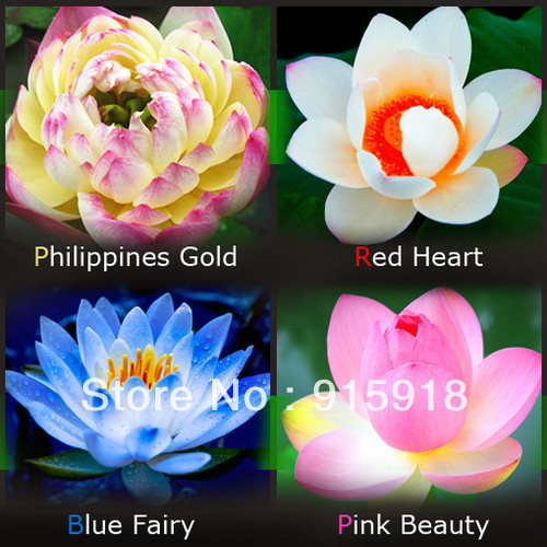 Lotus seeds four color blue pink gold white 4 pack each pack 10 lotus seeds four color blue pink gold white 4 pack each pack 10 seeds total 40 flowers seeds in bonsai from home garden on aliexpress alibaba group mightylinksfo Gallery