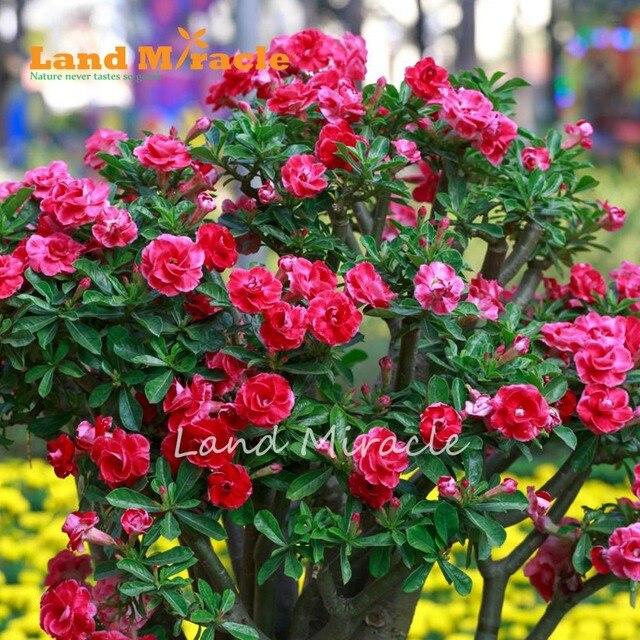 1pcs adenium perennial garden flowers double pink red desert rose 1pcs adenium perennial garden flowers double pink red desert rose for home garden planting mightylinksfo