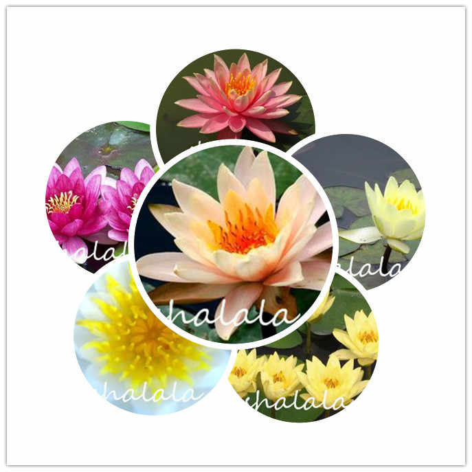 10 pcs  bowl lotus flower Exotic Water Lily Aquatic Blooming Aromatic Plant ,Rare flower bonsai Plant for Home Garden  plant